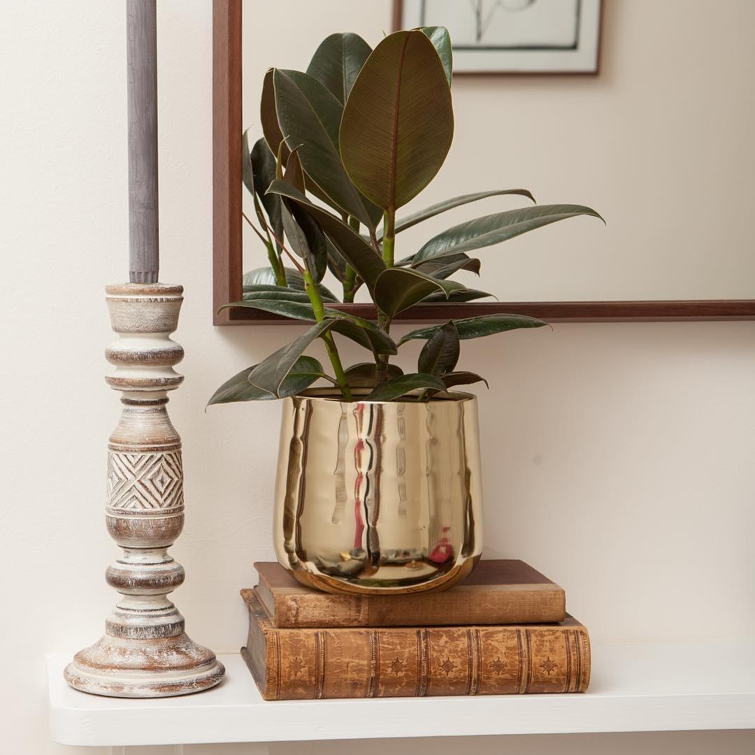 10 Plantas que necesitas tener en casa - árbol de caucho