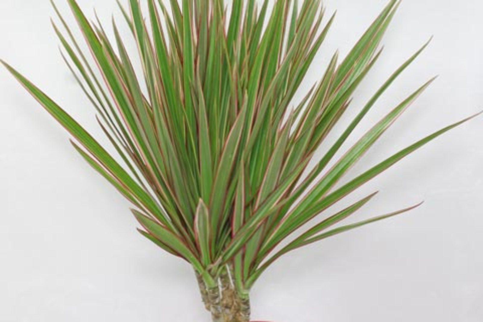 10 Plantas que necesitas tener en casa - dracaena de filos rojos interior