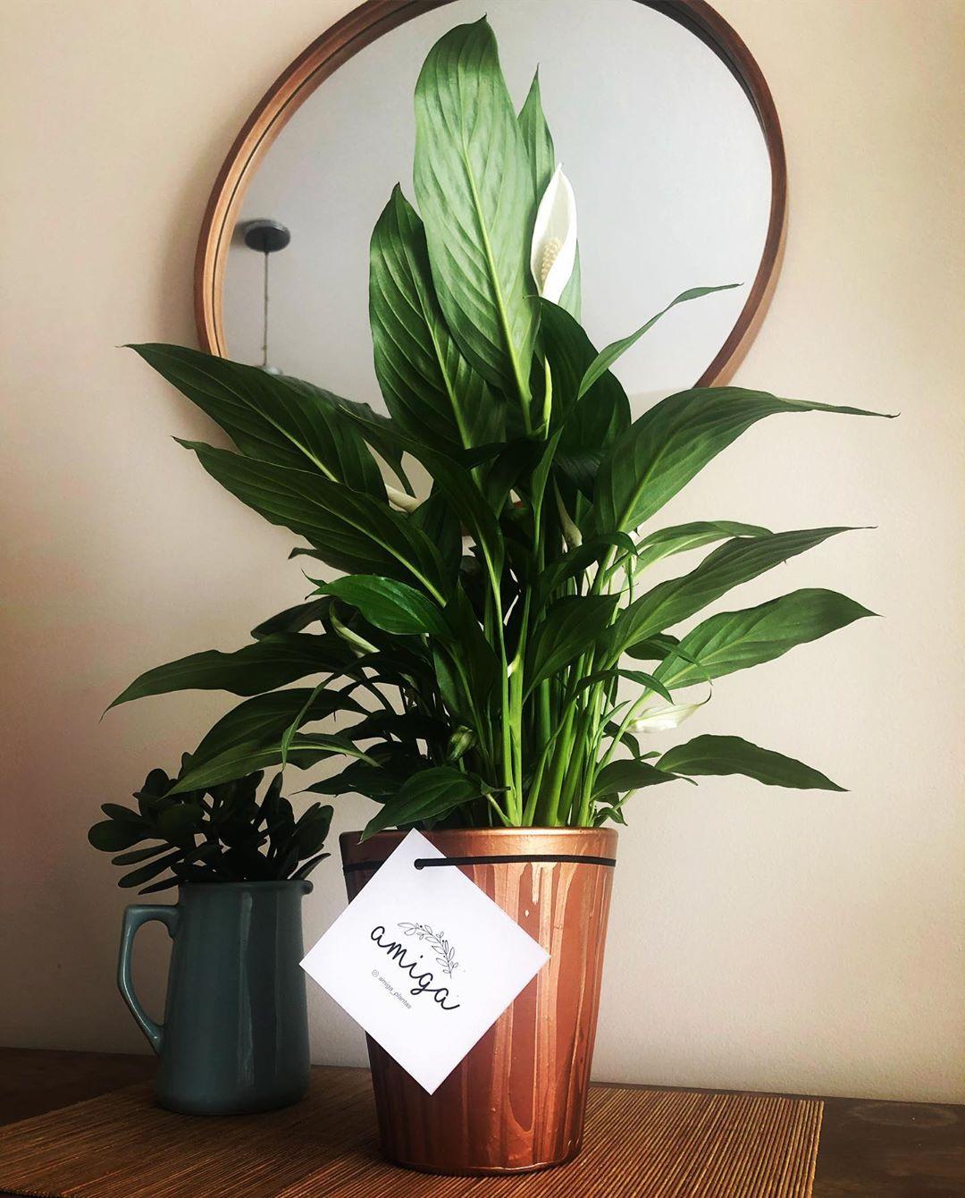 10 Plantas que necesitas tener en casa - lirio de la paz